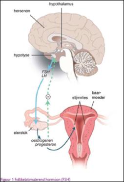 De eierstok produceert geen oestrogeen meer,  er wordt steeds meer FSH aangemaakt